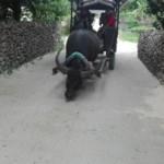 リゾートバイト水牛ツアーの仕事